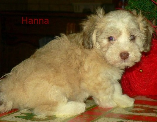 Massivus Angel's Havanese