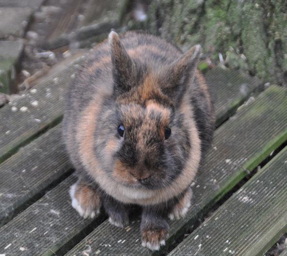 baby dwergkonijn