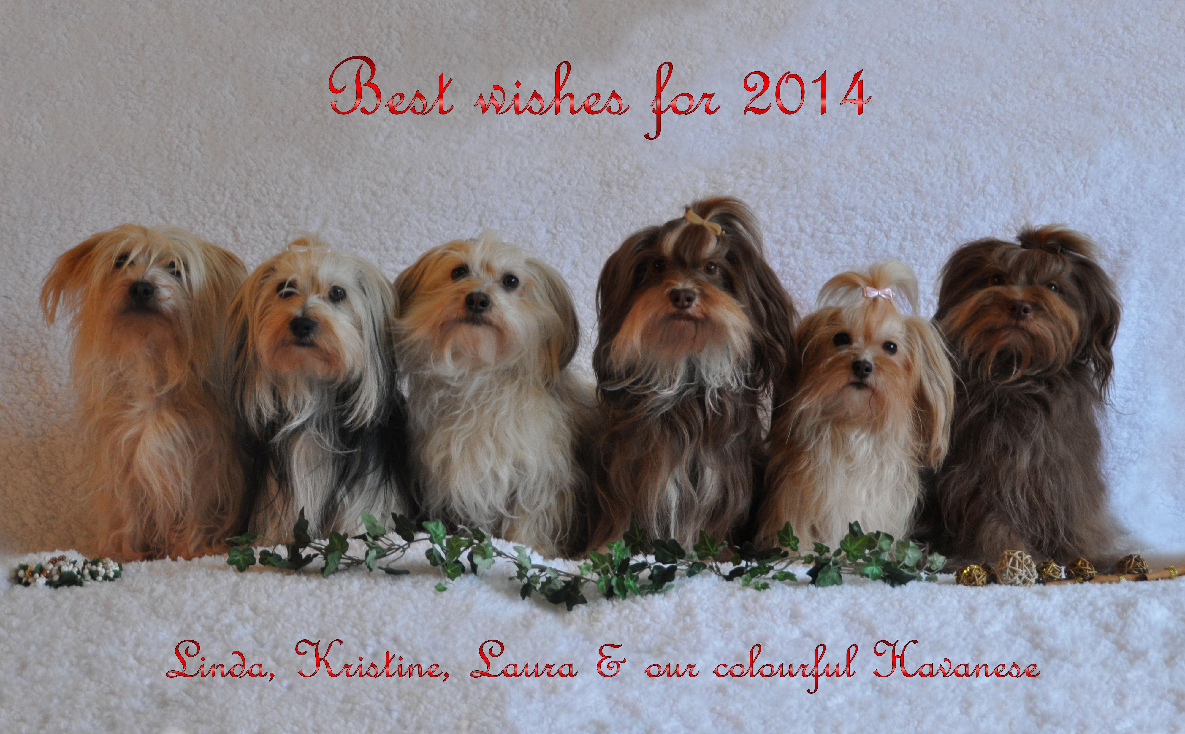 Dogs Are Bichon Havanais Habanero Havana Silk Dog Havaneser