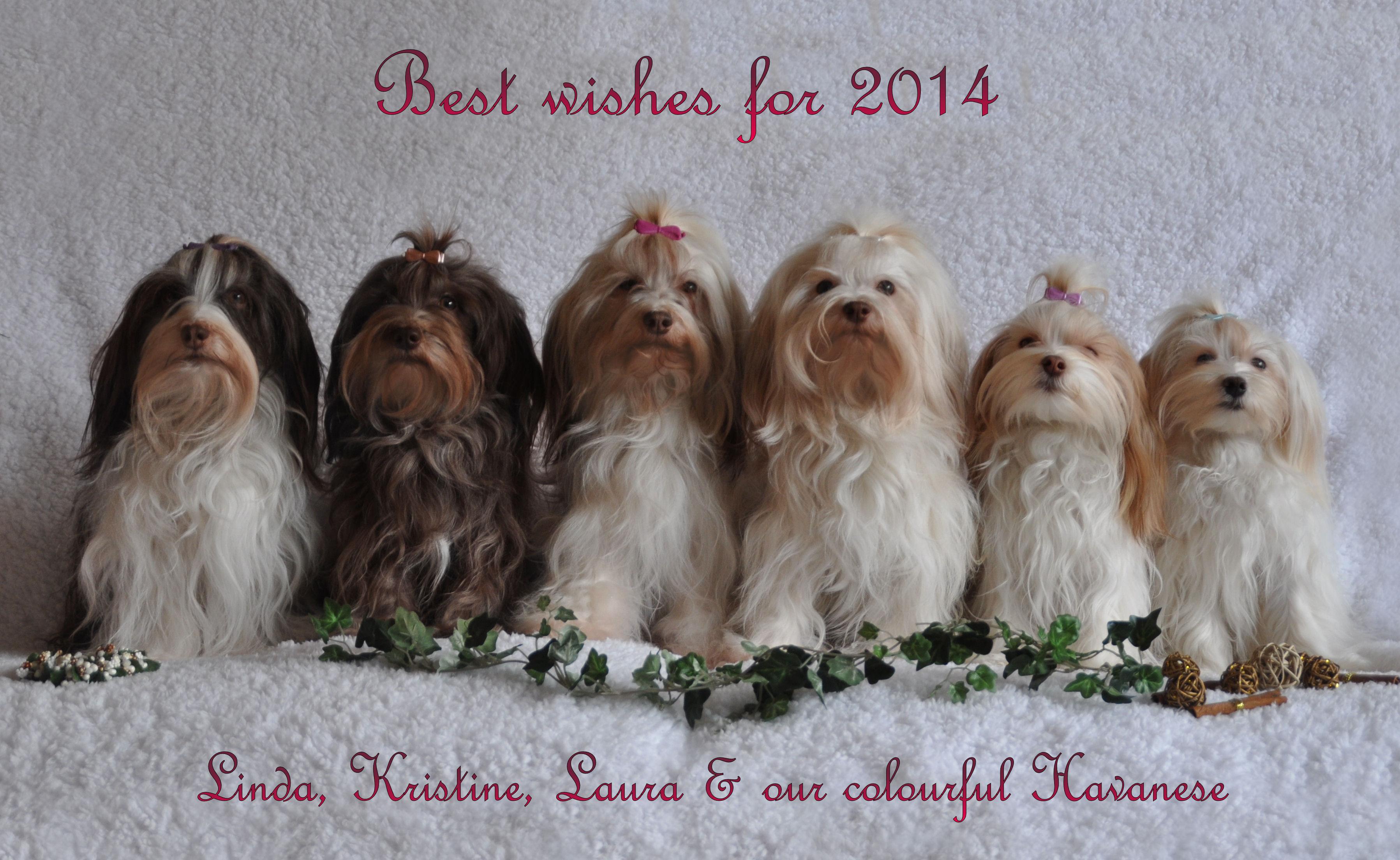 These Dogs Are Bichon Havanais Bichon Habanero Havana Silk Dog | Dog ...