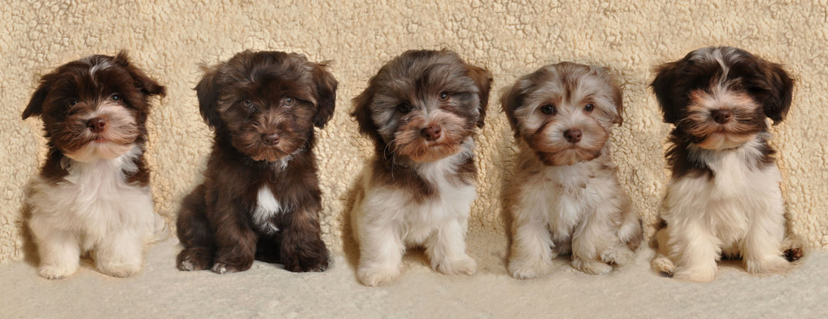 puppies   havanese pup puppy welpe welpen litter