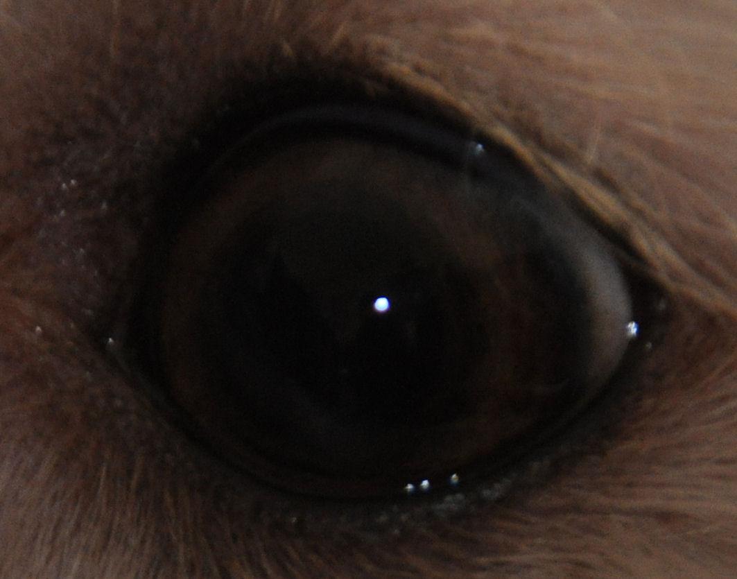 Chocolate Havanese Green Eyes - Viewing Gallery