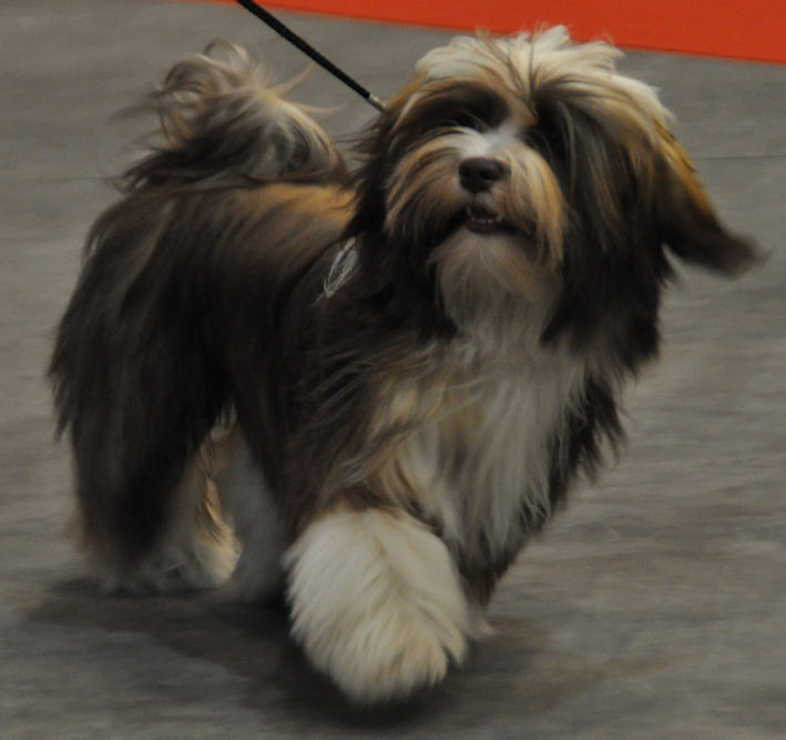 Havanese Dog Pictures Photos And Images Photo Gallery Of Breeds Picture