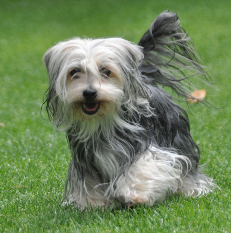 Dogs Are Bichon Havanais...