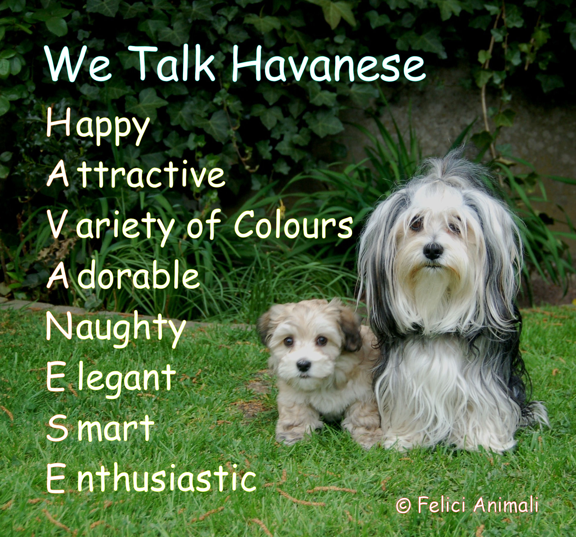 We Talk Havanese